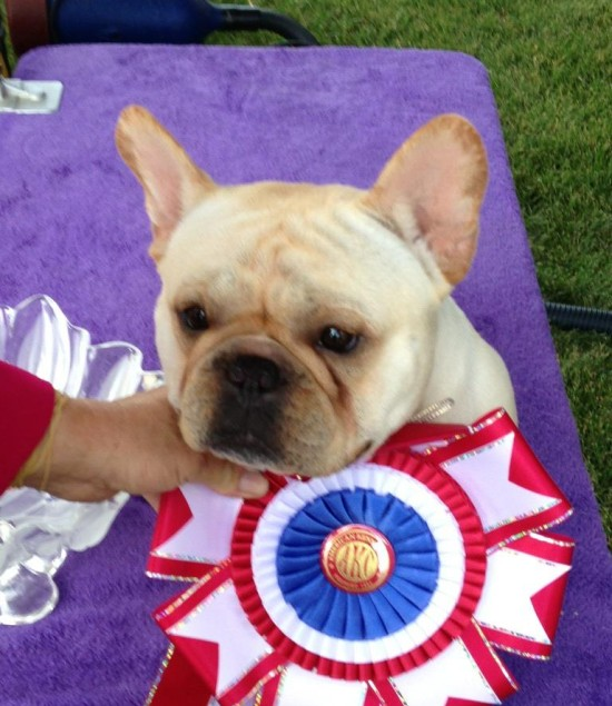 Show winning french bulldog dog life photo for French shows